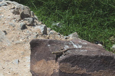lizard sunbathing at Cape Coast