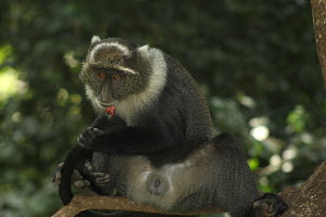 In City Park, Nairobi Kenya, this monkey had to learn a hard way in how to mind his own business after his tail was bitten by other monkeys. He now knows that not all business is monkeys business. Ci...