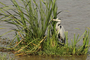 Grey Heron bird found in East African river banks, feeding on fish, small birds, rodents and amphibians. Its body is covered by black and white feathers; it has a long neck that always sticks out in s...
