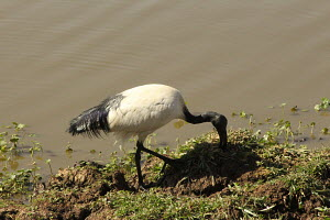 Secred Ibis is a water bird found in most African wetlands. As the name suggests the Sacred Ibis is a sacred bird that was mostly used by the ancient Egyptians linked to the gods. It always sends a me...