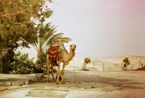 A camel stands unattended
