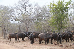 A herd of African buffalos in the wild