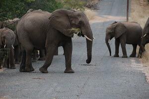 A parade of elephants grazing, captured in Limpopo.