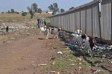 Phola Park Goats Grazing, fencing